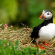 Puffin on the cliff, Iceland - Stock Photo