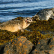 Two Seals on the rock, Iceland — Stock Photo