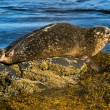 Seal on the rock, Iceland — Stock Photo