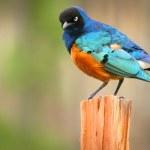 Colorful Superb Starling on the wood, Samburu, Kenya — Stock Photo #10159873