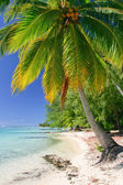 Palm tree, Moorea, French Polynesia — Stock Photo