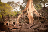 Root of the tree absorbing the ruins of the Temple — Stock Photo
