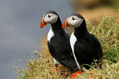 Two puffins on the grass, Iceland — Stok fotoğraf