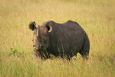 Black Rhino standing in the grass, Masai Mara, Kenya — Foto Stock