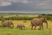 Family of elephants walking through the savanna, Masai Mara, Kenya — Stock Photo