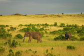Elephants on the savannah, Masai Mara, Kenya — Foto Stock
