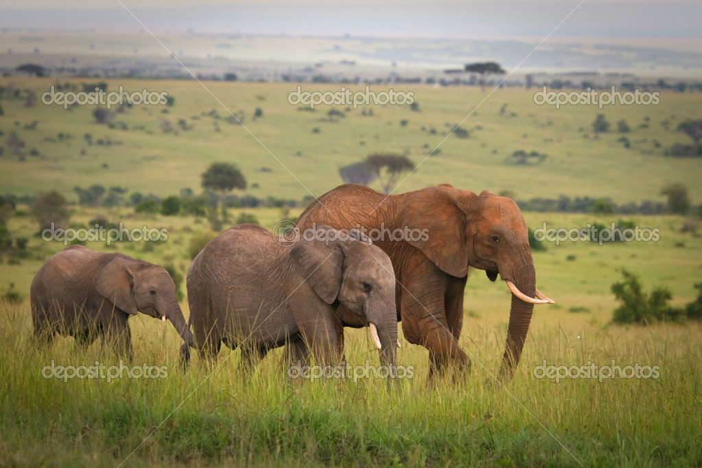 Elephants family crossing grassland, Masai Mara, Kenya  Stock Photo #10159945