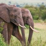 Elephants family crossing grassland, Masai Mara, Kenya — Stock Photo #10177781