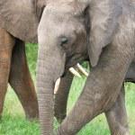 Elephants in the grass, Masai Mara, Kenya — Stock Photo
