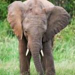 Elephant in the grass, Masai Mara, Kenya — Stock Photo