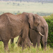 Elephants on the savannah, Masai Mara, Kenya — Stockfoto