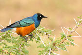 Colorful Superb Starling on the wood, Samburu, Kenya — Stockfoto