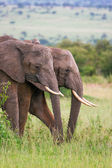 Elephants family crossing grassland, Masai Mara, Kenya — Foto Stock