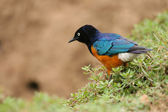 Colorful Superb Starling on the grass, Samburu, Kenya — Foto Stock