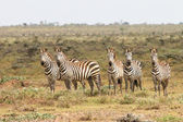 Zebras in Masai Mara National Reserve, Kenya — Stock Photo