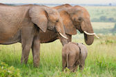 Elephants in the grass, Masai Mara, Kenya — Stock Photo