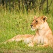 Lion in the grass, Masai Mara, Kenya — Stock Photo