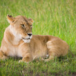 Stock Photo: Lion in the grass, Masai Mara, Kenya