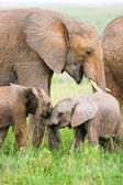 Two baby elephants playing in the grass, Masai Mara, Kenya — Stock Photo