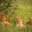 Cute cubs lions resting in the grass, Masai Mara, Kenya — Stock Photo #9466541