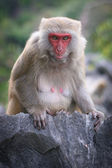 Rhesus female leader, Monkey Island, Ha Long Bay,Vietnam — Stock Photo