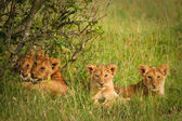 Cute cubs lions resting in the grass, Masai Mara, Kenya — Zdjęcie stockowe