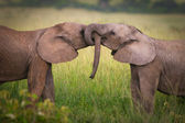 Elephants in love,Masai Mara,Kenya — Stock Photo
