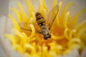 Wasp in a yellow flower — Stock Photo