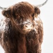 Royalty-Free Stock Photo: Scottish highland cow in snow