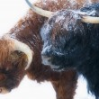 Royalty-Free Stock Photo: Scottish highland cows standing in snow