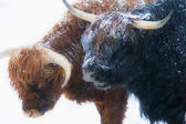 Scottish highland cows standing in snow — Stock Photo