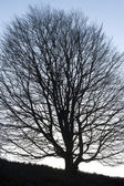 Tree large silhouette — Stock Photo