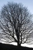 Tree large silhouette — Stock Photo