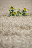 Sunflowers in a wheat field — Stock Photo