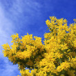 Mimosa and sky — Stock Photo