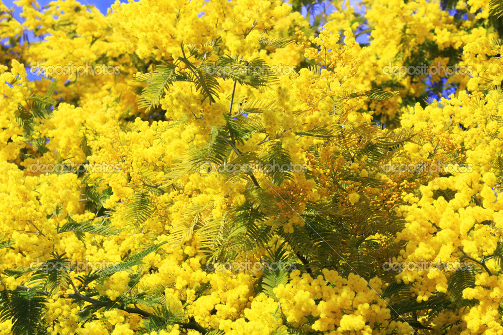 Background with  mimosa — Stock Photo #10246233
