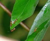 叶上的蚂蚁 — 图库照片