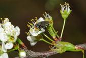 Fruit fly on plum blossom — Stok fotoğraf