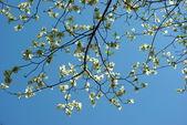 Dřín strom kvete — Stock fotografie