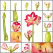 Collage of an amaryllis plant growth phases on white background - Stock Photo