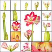 Collage of an amaryllis plant growth phases on white background — Stock Photo