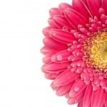 Closeup of a beautiful pink Daisy blossom — Stock Photo