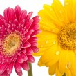 Two beautiful Daisy blossoms with water droplets — Stock Photo