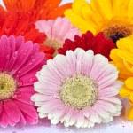Background of fresh Daisy blossoms — Stock Photo