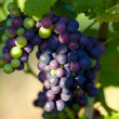 Stock Photo: Ripe grapes on vine shortly before harvest