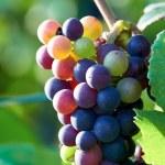 uve mature sulla pianta poco prima della vendemmia — Foto Stock