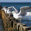 Stock Photo: Gulls on groynes in surf on GermBaltic coast