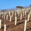 Royalty-Free Stock Photo: New wine vines planted on a vineyard in Baden-Wuerttemberg