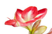 Close up of an amaryllis flower on a white background — Stock Photo