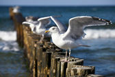 Gulls on groynes in the surf on the German Baltic coast — Stock Photo